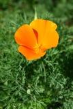 California Poppy Flower. A Single California Poppy Flower on fresh green Stock Image
