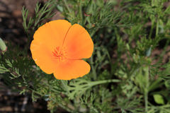 California Poppy Flower Stock Photography