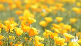 California poppy flower field stock video footage