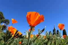 California poppy flower. View looking up towards blue sky. Fields poppy flower and clear sky Royalty Free Stock Images