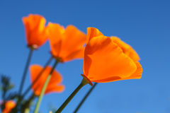California poppy flower. View looking up towards blue sky. Fields poppy flower and clear sky Royalty Free Stock Photography