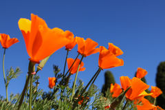 California poppy flower. View looking up towards blue sky. Fields poppy flower and clear sky Royalty Free Stock Photos