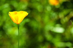 California poppy flower Royalty Free Stock Photo