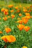 California Poppy Flowers. Many orange California Poppy Flowers in the garden Royalty Free Stock Images