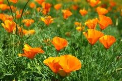 California Poppy Flowers. Many orange California Poppy Flowers in the garden Stock Images