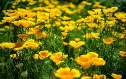 California poppy flowers stock images