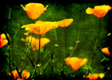 California poppy flowers grunge Royalty Free Stock Photos