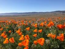 California Poppy Flowers Meadow Fotografie Stock Libere da Diritti