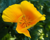 California Poppy Golden Inside Imagenes de archivo