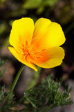 California poppy is a herbaceous plant Royalty Free Stock Photos
