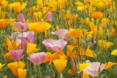 California poppy ) in Hokkaido. California poppy (Eschscholzia californica) in flower farm,Hokkaido,Japan Royalty Free Stock Image
