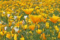 California poppy ) in Hokkaido. California poppy (Eschscholzia californica) in flower farm,Hokkaido,Japan Stock Image