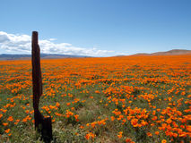 California Poppy Land Stock Photo