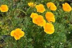 California poppy stock photo