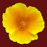 California Poppy On A Dark Background Stock Photo