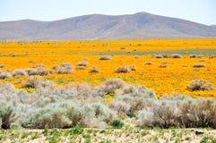 California Poppy Royalty Free Stock Images