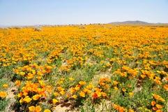 California Poppy Stock Photography
