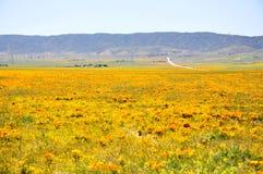 California Poppy Royalty Free Stock Photography