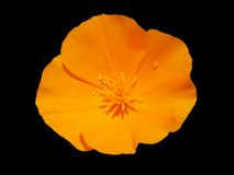 California Poppy after the rain. Orange California Poppy with some droplets on black background Royalty Free Stock Photos