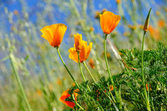 California Poppy And Wild Grasses Stock Images