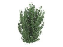 California_privet_(Ligustrum_ovalifolium) Royalty Free Stock Image