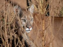 California Puma stalking in the tall grass. California mountain lion, or a Puma, stalking through the tall grass posing for a portrait stock photos