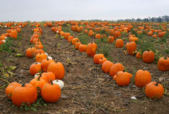 California Pumpkin Patch Stock Photo
