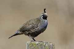 California Quail Stock Photography