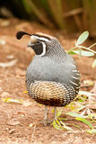 California Quail. Full Front View of Adult Male California Quail Standing in Garden Royalty Free Stock Image