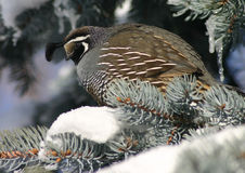 California Quail. A quail perched in a spruce tree Royalty Free Stock Images