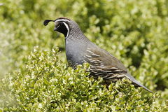 California Quail. Close up of male California quail with green foliage background Stock Images