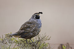 California Quail Royalty Free Stock Photos