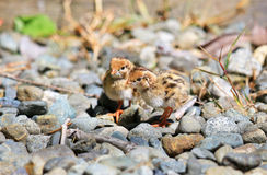 California Quail Babies Foraging on Gravel,  Victoria, Canada Royalty Free Stock Photography