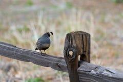 California Quail - Calipeple californica) Stock Photo