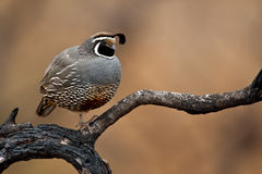 California Quail (Callipepla californica) Royalty Free Stock Photos