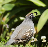 California quail Callipepla californica Royalty Free Stock Image