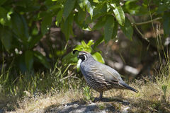 California Quail (Callipepla Californica) Stock Image