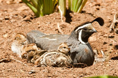 California Quail and Chicks Royalty Free Stock Photos
