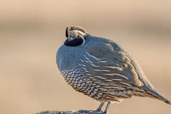 California Quail Royalty Free Stock Photo