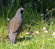 California Quail and Copyspace Stock Photography