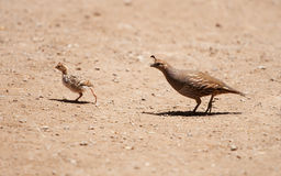 California Quail Crossing royalty free stock image