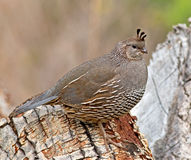 California Quail - female Royalty Free Stock Photos