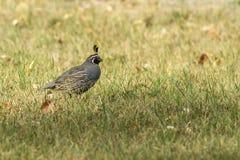 California quail in the grass. Stock Photos