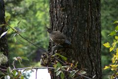 California Quail Hen Royalty Free Stock Photos