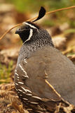 California Quail Looking Up Royalty Free Stock Image