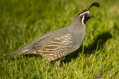 California Quail Male. Male California quail bird portrait Stock Photography