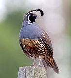 California Quail - male Royalty Free Stock Photos