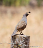 California Quail: Male on Post Stock Images