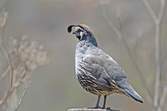 California Quail on post 4498 Royalty Free Stock Photo