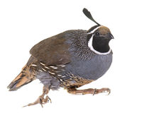 California quail in studio Royalty Free Stock Photography